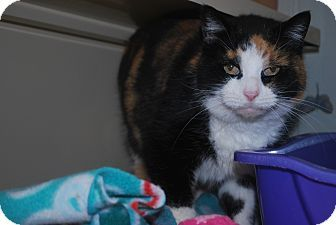 2/22/17 New Castle, PA - Domestic Shorthair. Meet Hilda, a cat for adoption. http://www.adoptapet.com/pet/17384145-new-castle-pennsylvania-cat