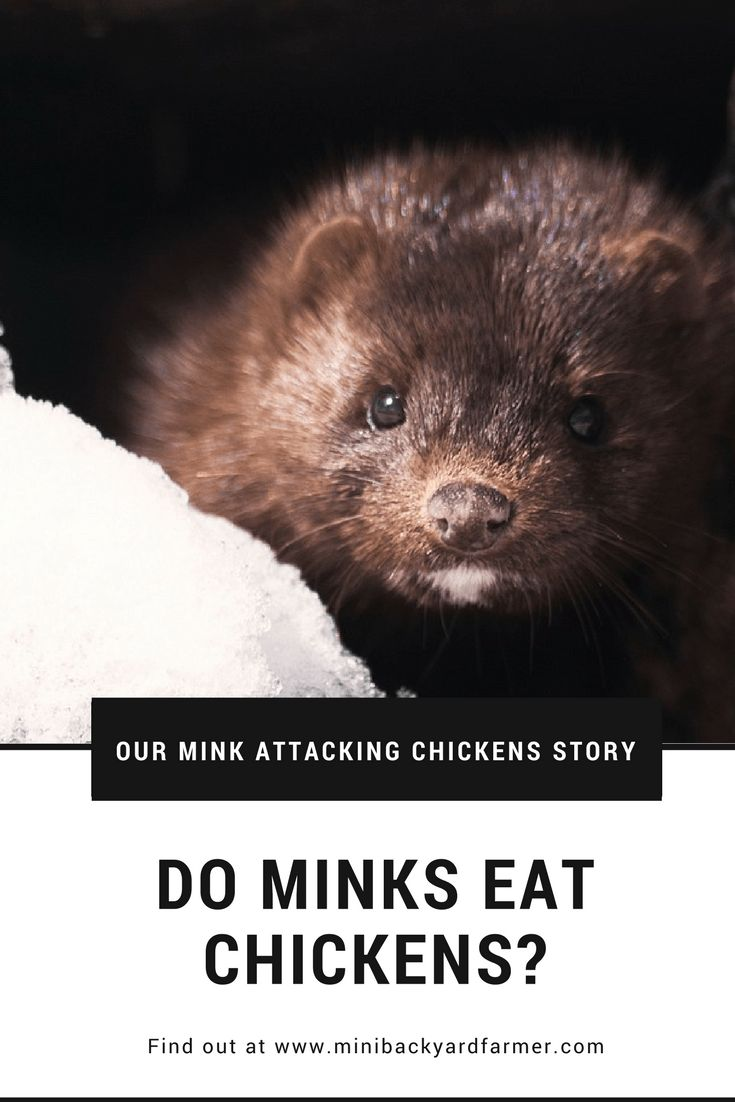 Do minks eat chickens mink attacking chickens