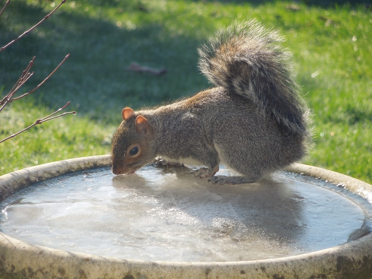 Hot Squirrel Action.    Squirrel with his / her tongue stuck to the ice in the bird bath.