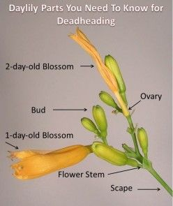 How to keep stella d'oros blooming all season -- a guide to deadheading lilies
