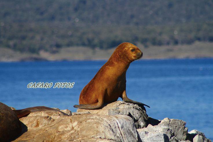 Lobo marino. Canal de Beagle