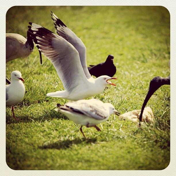 Bondi Bitch Fight #bondi #seagulls #fight #atbondi #sydney #birds #gulls #ibis