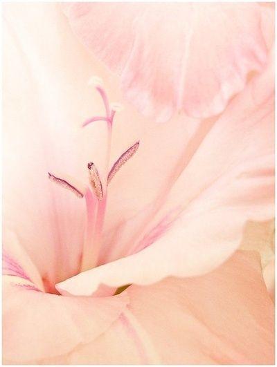Soft Blush Pink Gladioli