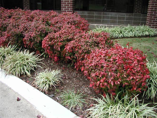 Nandina fire power love this shrub it is pretty year for Low maintenance evergreen shrubs