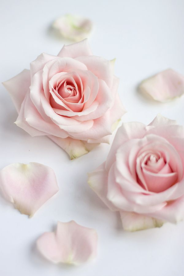 Sweet avalanche roses, in bloom
