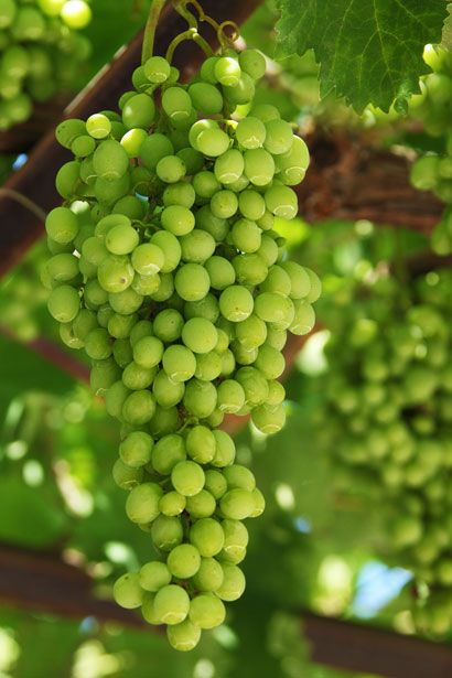 grapes | Growing Grapes by Vera Kratochvil