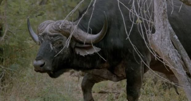 This is the Most Incredible Cape Buffalo Hunting Video You'll Ever See [VIDEO]
