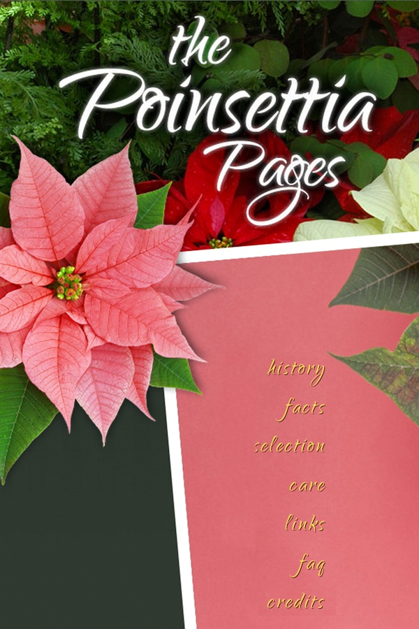 179 Best Plants Poinsettia Images On Pinterest Indoor