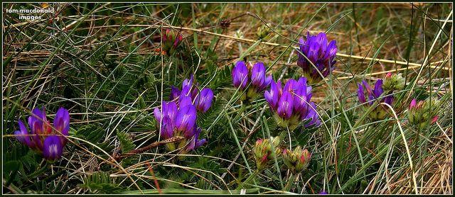 Purple Milk-vetch - Astragalus danicus