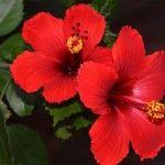 1000 Manfaat & Khasiat Bunga Kembang Sepatu Bagi Kesehatan