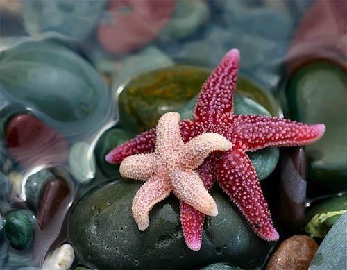 pink sea stars