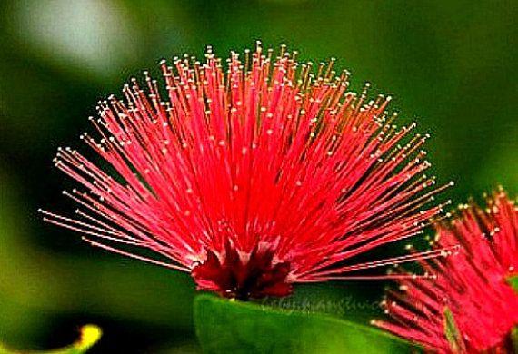 Calliandra tergemina, Red Powderpuff Tree, 10 seeds, showy ...