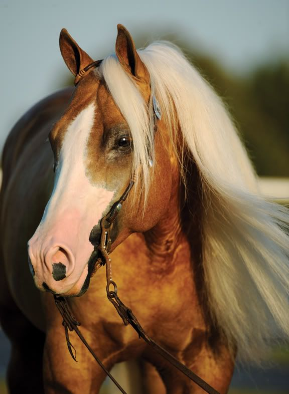 thereiningqueen:    3/10 reining horses I would like to own:  Smart And Shiney 9 year old Quarter Horse stallion; Smart Shiner x Tronas Pearl (Docs Tronalena)