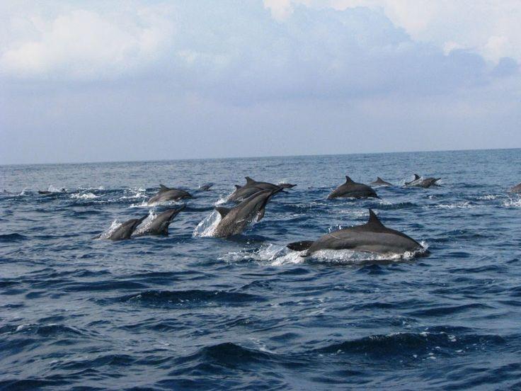 dolphin dancing @ teluk kiluan - lampung