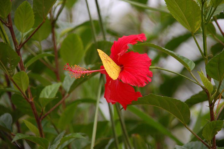Borboleta amarela no hibisco vermelho. Provavelmente Visconde de Mauá.