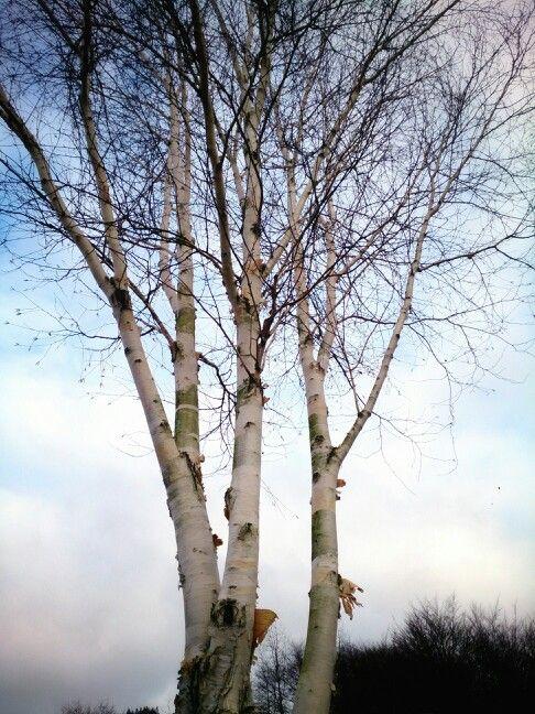 Birketræer i Brejning