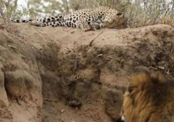 Singa Sergap Macan Tutul yang Sedang Tidur, Ini yang Terjadi?