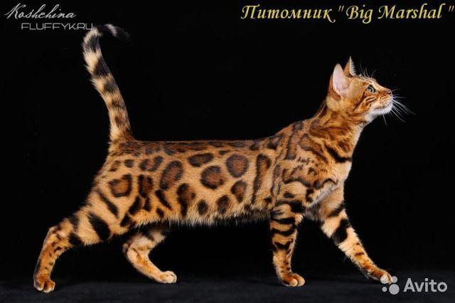 Бенгальские котята из питомника — фотография №1