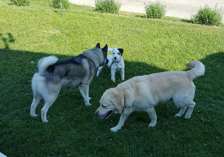 Odin, Bobby og Virko.