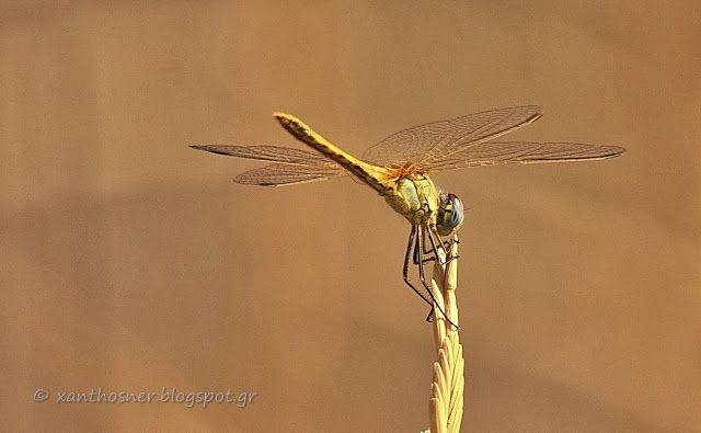 του Νέστου και της Ροδόπης: dragonfly