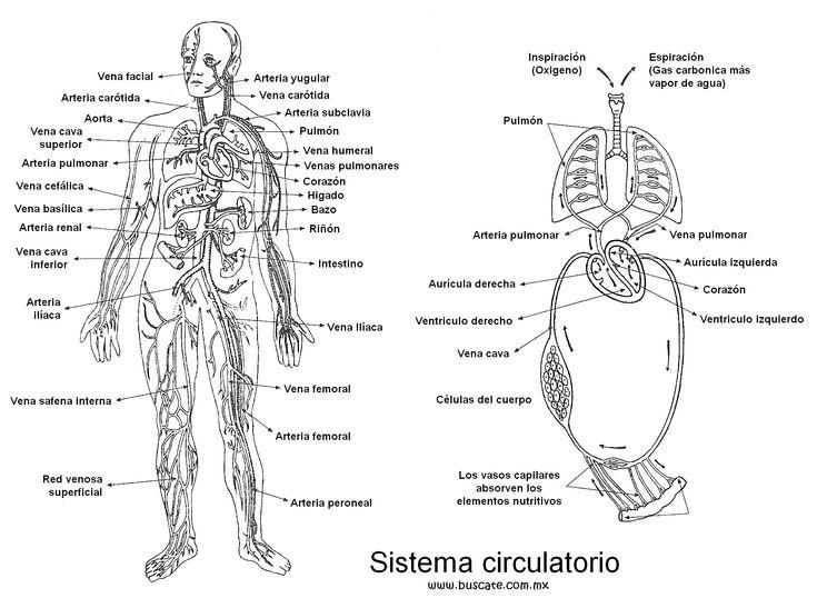 esquema del sistema circulatorio  con los nombres de sus