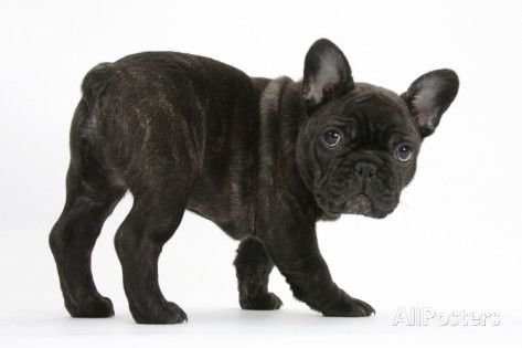 Dark Brindle French Bulldog Pup, Bacchus, 9 Weeks Old Photographic Print