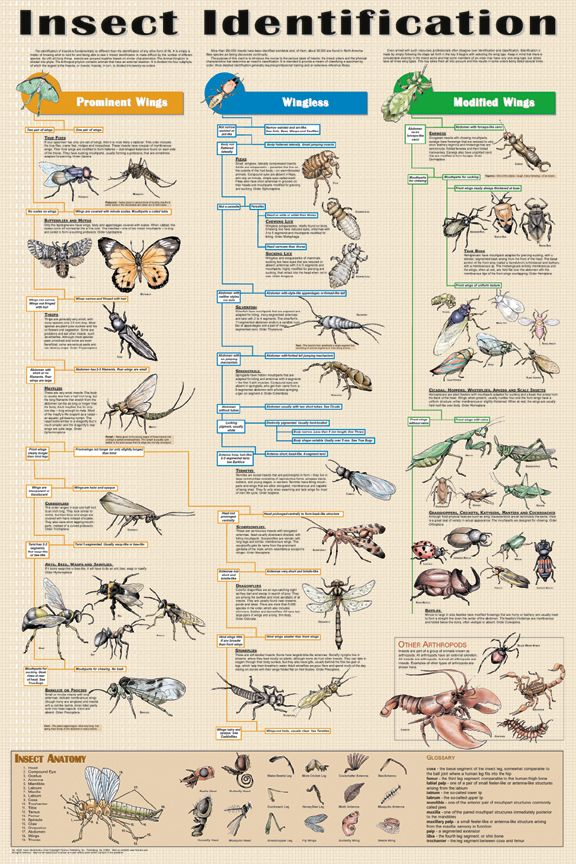 Insect Identification Poster - Science Posters, Pictures, Prints