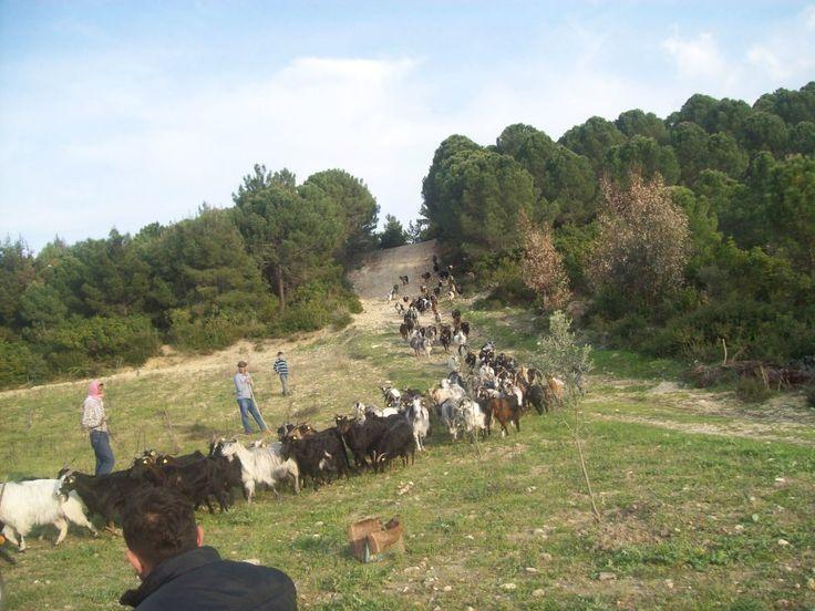 Bozköy Keçiler