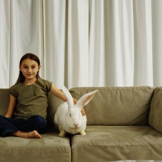 The Flemish giant is a mellow companion for a child.