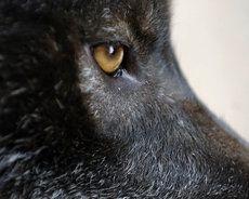 Auge des schwarzen Wolfs, goldenen Augen