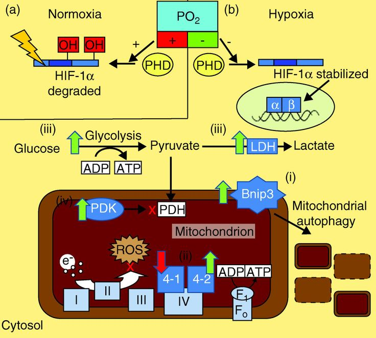 In most tissues of the body, cellular ATP production predominantly occurs via mitochondrial oxidative phosphorylation of reduced intermediates, which are in turn derived from substrates such as glucose and fatty acids. In order to maintain ATP homeostasis, and therefore cellular function, the mitochondria require a constant supply of fuels and oxygen. In many disease states, or in healthy individuals at altitude, tissue oxygen levels fall and the cell must meet this hypoxic challenge to…