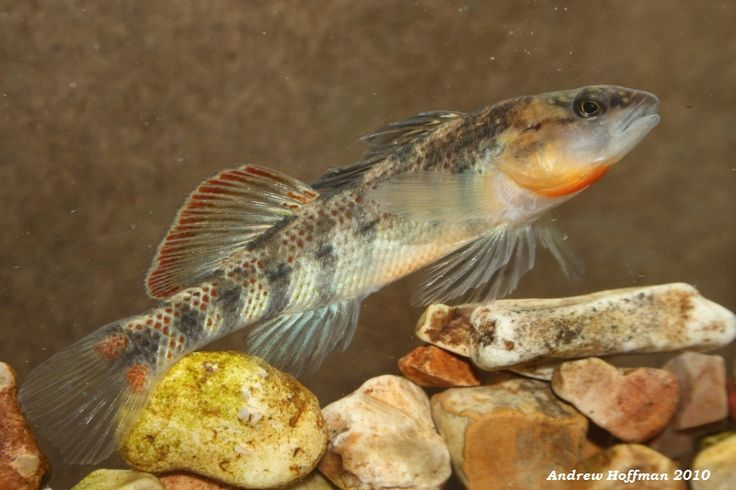 Orangethroat Darter (Etheostoma spectabile)*