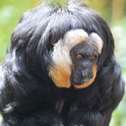 Five New Monkey Species ID'd in South American Forests : DNews BY JENNIFER VIEGAS 8/29/14