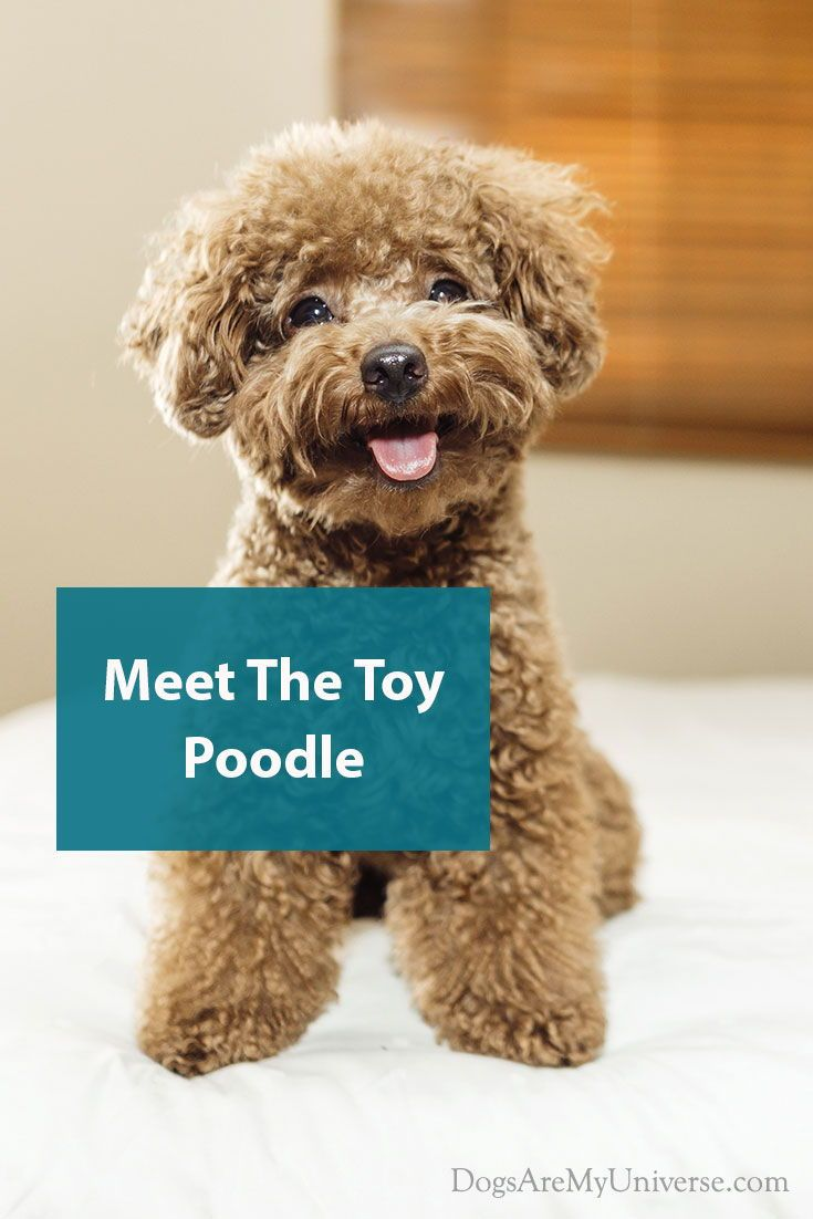 Toy Poodle Breed Information Smiles And Attitudes Poodle