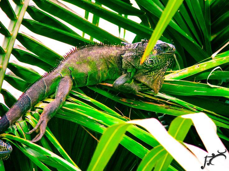 una iguana en una palma en las playas de michoacan