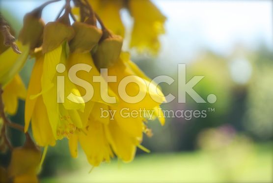 Spring Kowhai Flowers in Soft Focus royalty-free stock photo