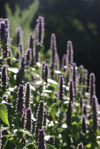 Sommar. spira. halvhärdig. doft. fjäril. Anisisopp - Agastache foeniculum -- även gråvita blommor. Blomning juni-aug, 60-80 cm, full sol, c/c 35 cm