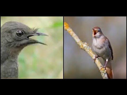 Masteran Burung Murai : Mix Lyrebird Nightingale