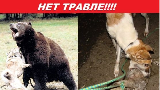 PETITION ! RUSSIA - petition!  This petition is to help stop the cruel madness for this poor bears and just as well the dogs.  In Russia take this cruel so-called dog/bear fights place. The dogs are forced to fight a bear that have no way to go, so imagine this cruel people to train the dogs to catch wild animals such as foxes, other (baby) bears and so on. In Russia this is all legal. This atrocities have to stop!