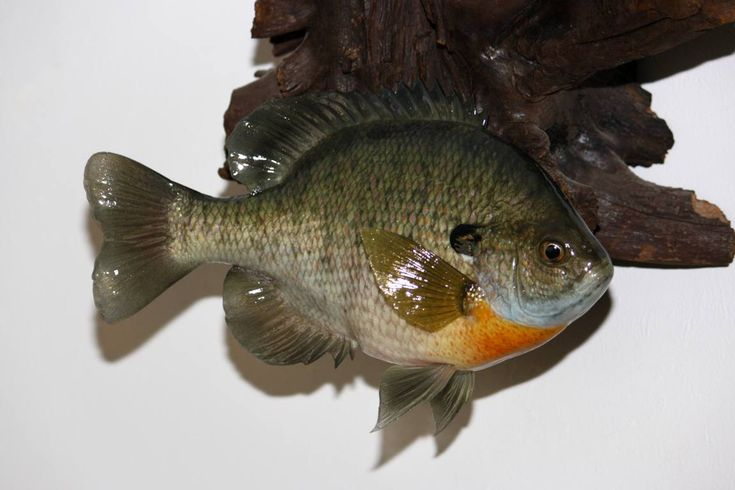 1000 images about bluegill on pinterest the fly ice for Ice fishing bluegill