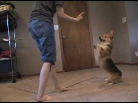 You gotta see this! A #corgi bustin' a move! Adorable!
