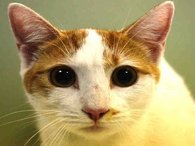 To Be Killed 10 5 Nyc Acc My Name Is Galadriel Id A1014858 I Am A Female White Orange Kitten 11 Mont Angora Cats Toxic Plants For Cats Benadryl For Cats