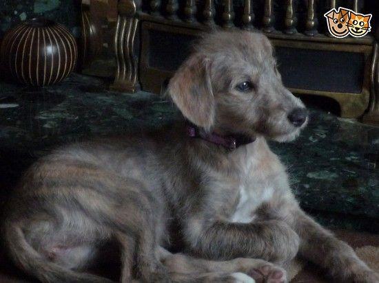 female bedlington/whippet puppy | Broseley, Shropshire | Pets4Homes