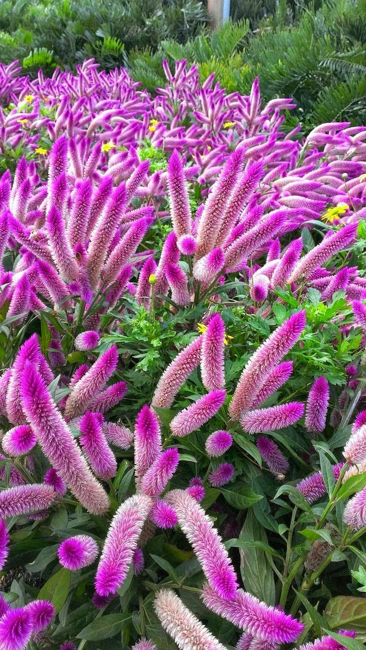 Plant Met Paarse Pluimen 8 Best Celosia Images On Pinterest | Covent Garden, Flower
