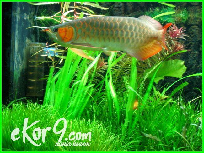 Ikan Arwana Berenang Gelisah Bagaimana Mengatasinya Ikan