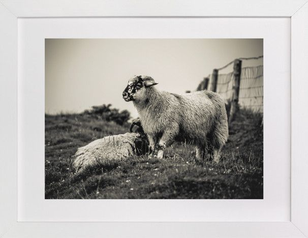 Sheep at Dingle Peninsula by AR Photography at minted.com