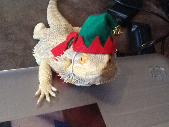 134 Best ™�bearded Dragons♡ Images On Pinterest Dragon Pet