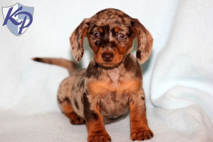 Emma – Dachshund – Miniature Puppies for Sale in PA | Keystone Puppies