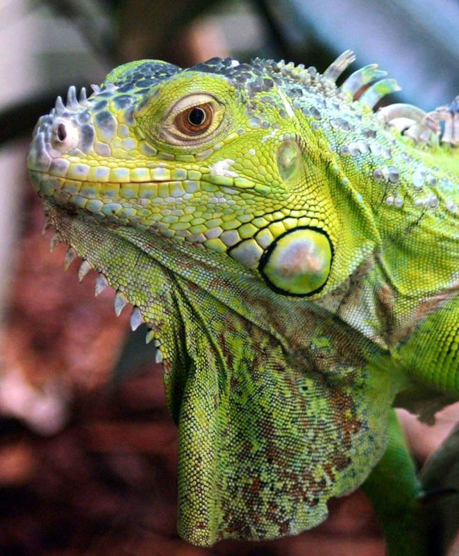 I Find Iguanas Fascinating Would Love One