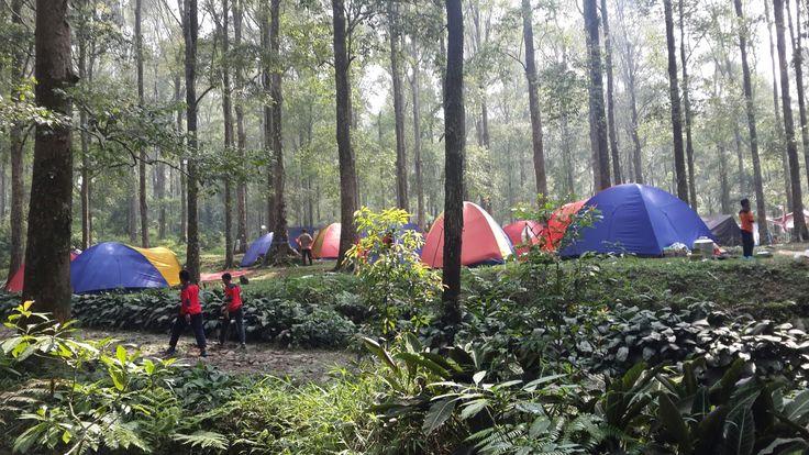 Among the pine trees of Taman Nasional Salak Halimun, Gunung Bunder, Bogor